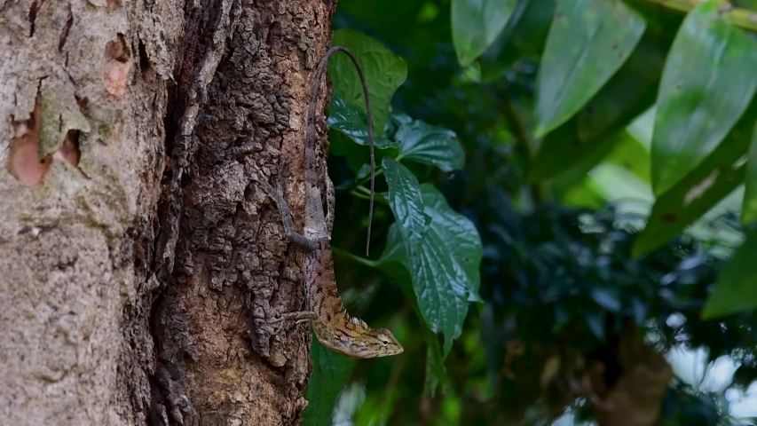 The Oriental Garden Lizard is also called the Eastern Garden Lizard, Bloodsucker and Changeable Lizard; it has the ability to change its colours according to its lifecycle and can be commonly found. | Shutterstock HD Video #1039280240