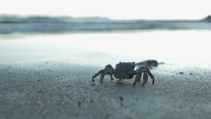 Crab walks slowly along seashore towards the rocks in close-up. Late summer evening at sea, low-angle view | Shutterstock HD Video #1039962290