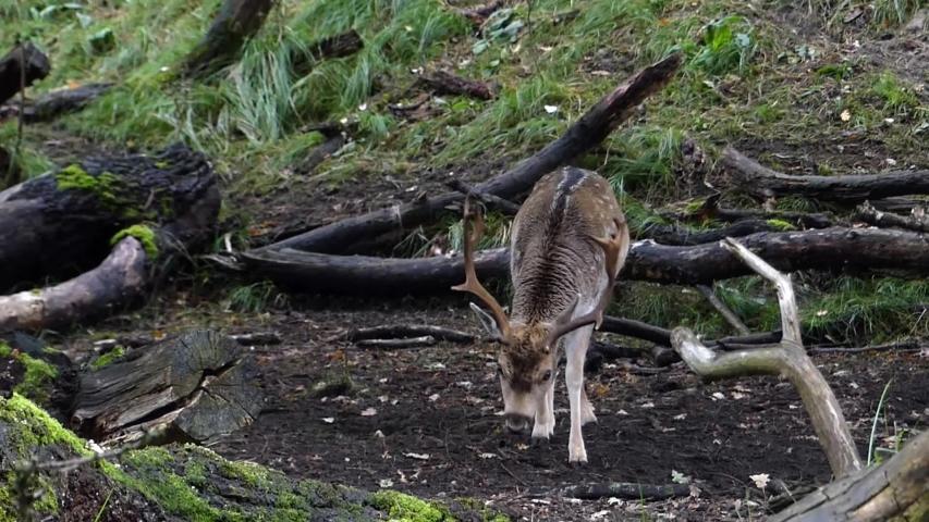 Wild fallow deer stags during autumn rutting season in European forest | Shutterstock HD Video #1040337050