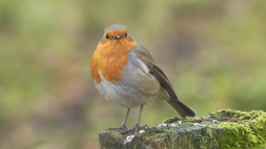 Robin red breast in the countryside hand held slow motion shot stock footage | Shutterstock HD Video #1040772920