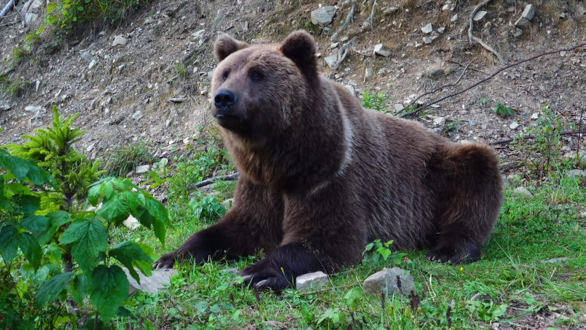 A huge brown bear lies on the grass in a clearing.   Shutterstock HD Video #1041460780
