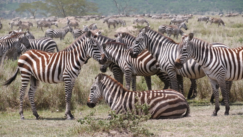 Zebras in front of the great Migration. Serengeti, Tanzania, Africa. stable footage in 4 K | Shutterstock HD Video #1041982750