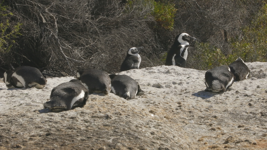 African penguin colony resting on rock with vegetation on background | Shutterstock HD Video #1042254880