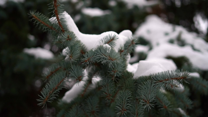 Slow motion of hand shaking the pine branch with snow. Holiday season in December | Shutterstock HD Video #1042371940