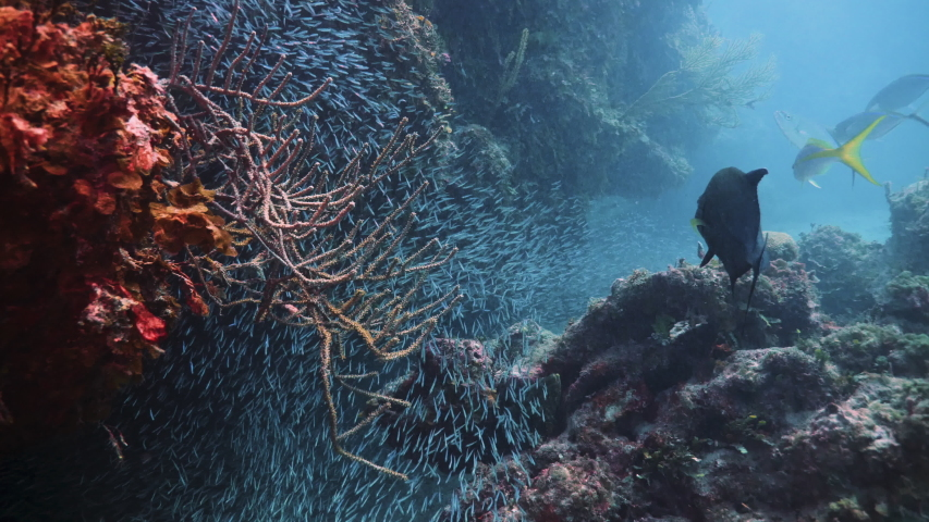 Underwater, pov, a school of fish over a red coral reef, The Bahamas | Shutterstock HD Video #1042794610