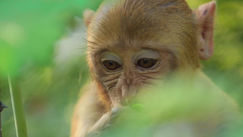 Rhesus macaque (Macaca mulatta) in slow motion is one of the best-known species of Old World monkeys. Ranthambore National Park Sawai Madhopur Rajasthan India | Shutterstock HD Video #1043349910