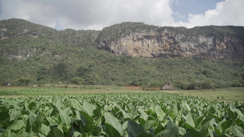 Tobacco field in Vinales National Park, UNESCO World Heritage Site, Pinar del Rio Province, Cuba, West Indies, Caribbean, Central America   Shutterstock HD Video #1044139930