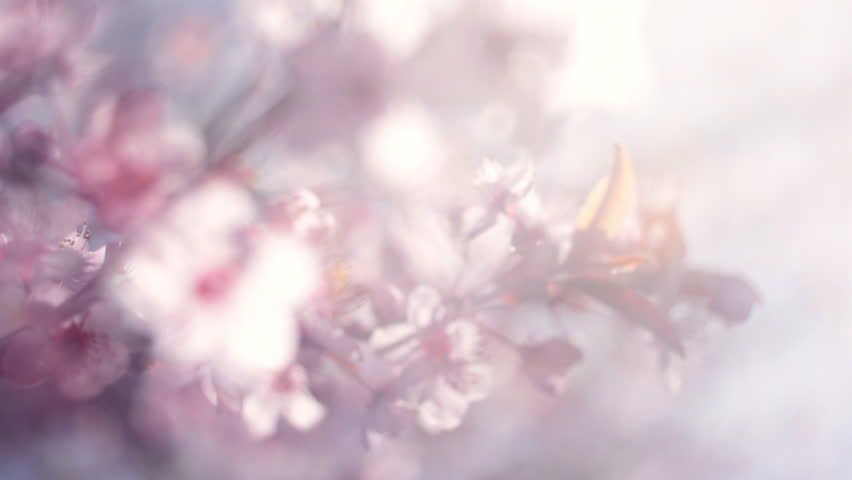 Blooming pink Japanese Sakura branch with halo soft blur effect in a milk gauze. Shallow dof. Cinematic moving fairy nature scene of cherry tree in pastel colors. Slow motion hd footage. 1920x1080