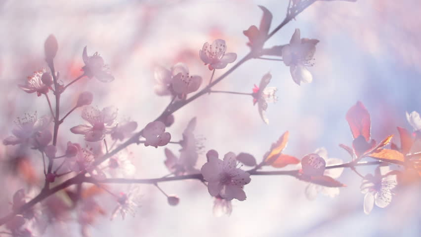 Closeup of blooming pink Japanese Sakura branch with halo soft blur effect in a milk gauze, trembling in the wind. Shallow dof. Cinematic fairy scene of cherry tree. Slow motion hd footage. 1920x1080