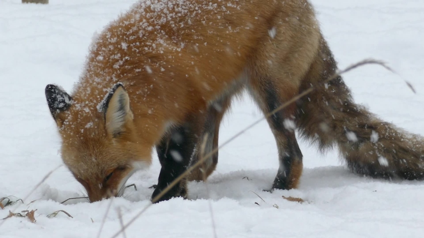 Fox investigating something in the snow in nature garden park in Canada - HD 24fps | Shutterstock HD Video #1044457330
