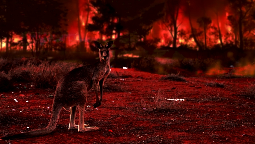 Kangaroo covered by ash and smoke during the bush fires in Australia. Fire crisis in Australia