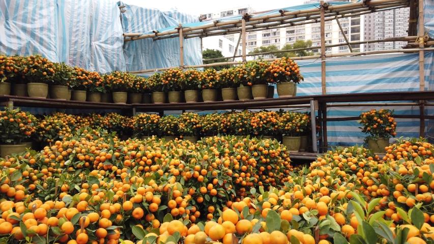 Kumquat Tree in a Chinese New Year Flower Market, Hong Kong   Shutterstock HD Video #1044867820