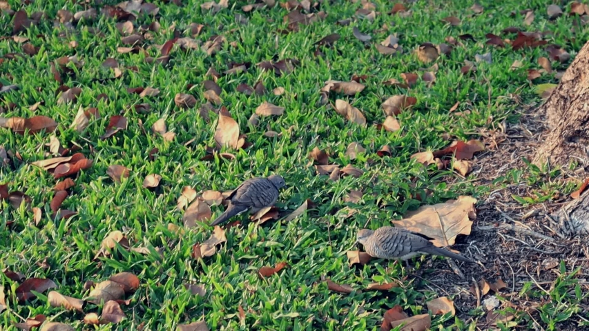 Street pigeons eat the bread crumbs in the park. bird and grass field. animal wild life.   Shutterstock HD Video #1045673920