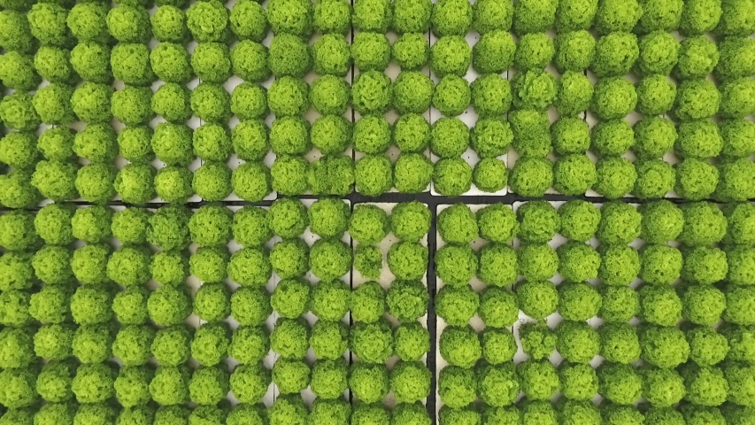 Green lettuce growing plantation, hydroponics, pattern, top view | Shutterstock HD Video #1047228910
