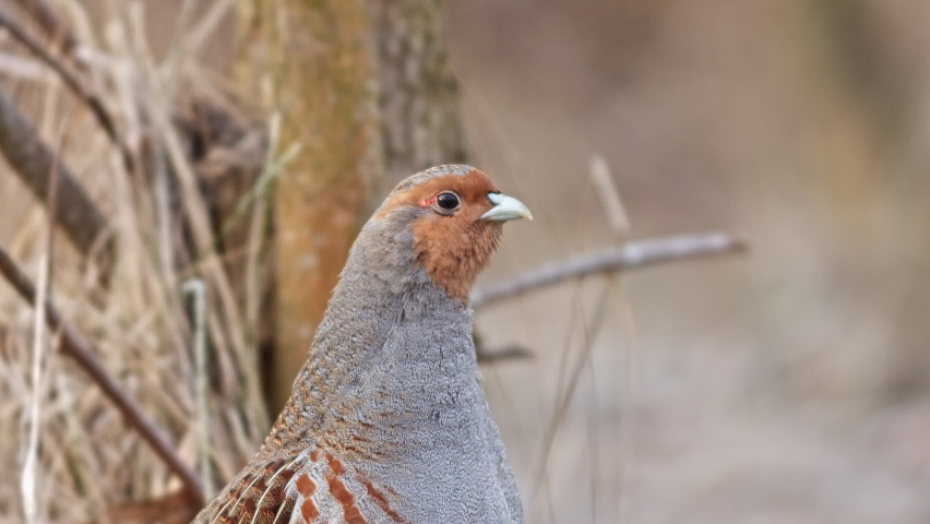 Portrait of Grey Partridge (Perdix perdix). A Male looking for some to eat in early morning. Footage 2 in 1. | Shutterstock HD Video #1047841180