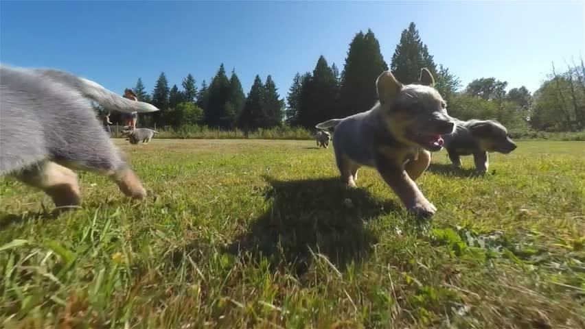 Australian Cattle Dog puppies running through a green grassy field on a summer day