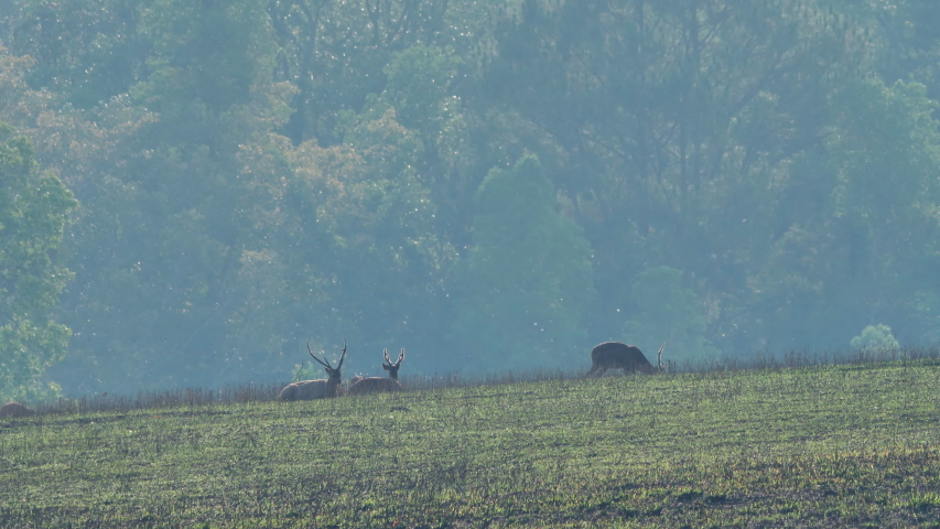 Three males Hog Deer (Axis porcinus) eating grass in forest in the morning time. Animal Wildlife, Nature background Asia Thailand   Shutterstock HD Video #1048524010