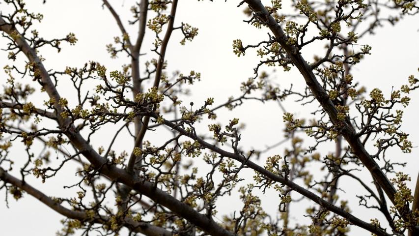 Spring time on Sakura tree during Cherry Blossom | Shutterstock HD Video #1048897420