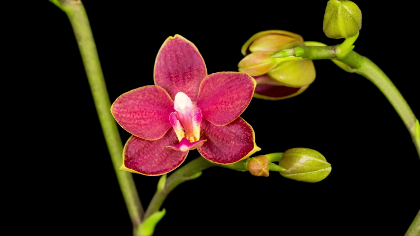 Blooming Red Orchid Phalaenopsis Flower on Black Background. Time Lapse. Negative Space. 4K.  | Shutterstock HD Video #1049295100