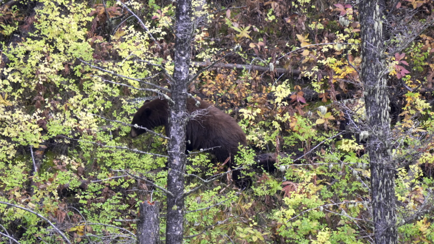 A black bear forages for berries from bushes in fall foliage at yellowstone national park of wyoming, usa | Shutterstock HD Video #1049633680