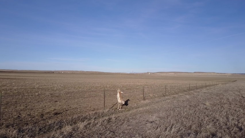 Pronghorn Antelope Dead Remains Carcass on Fence Caught Hanging Barb-wired Mortality | Shutterstock HD Video #1049635330