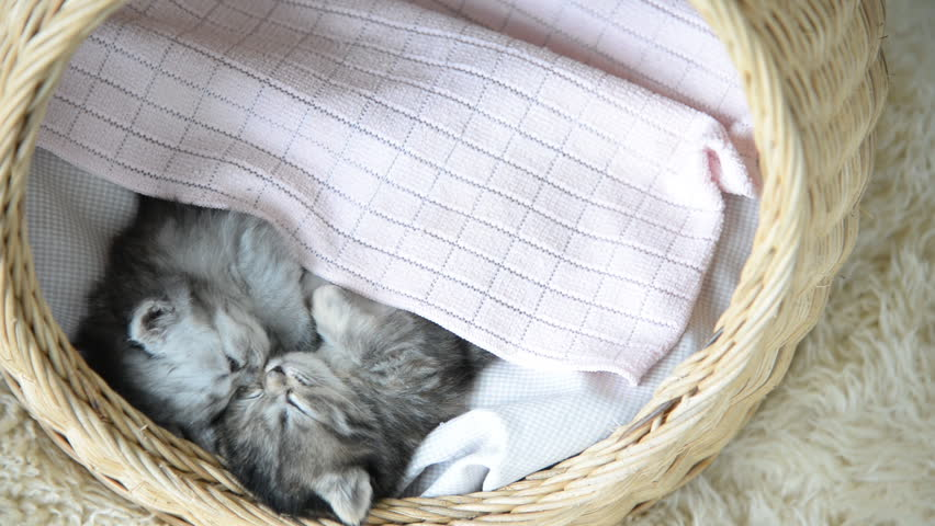 Cute tabby kittens sleeping and hugging in a basket and kicking blanket