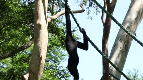 Gibbons (Wong: Hylobatidae; UK: Gibbon) classified in the phylum chordate. Floor mammal primate (Primates) is the ape.