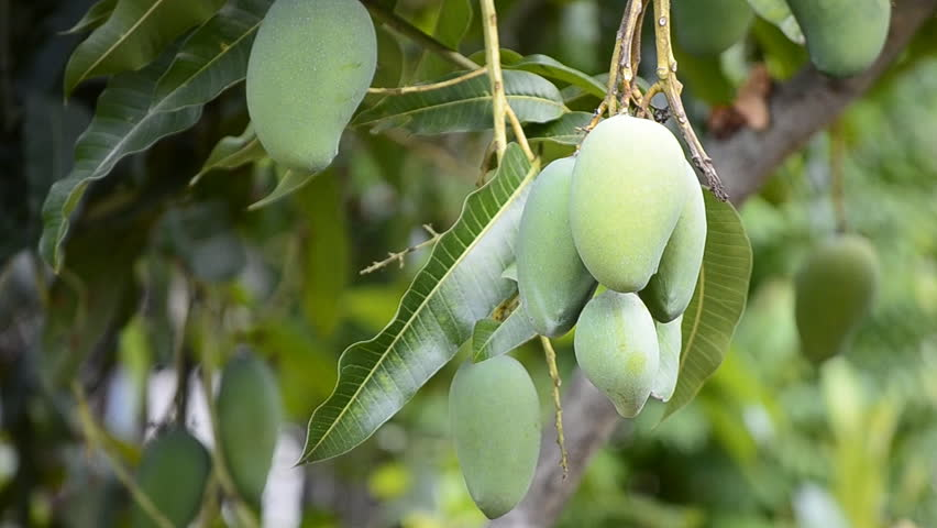 essay of mango tree