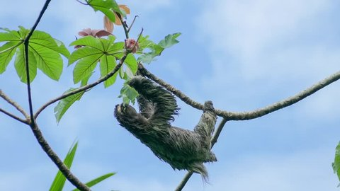 Three-toed sloth eating a leaf in a tree, Manuel Antonio National Park in Costa Rica