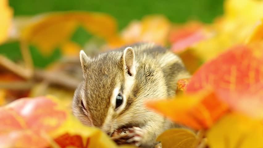Siberian Chipmunk eating a walnut on fallen leaves.