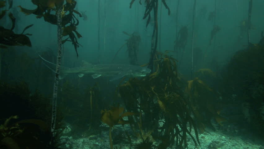 Seven gill cow shark swimming through kelp forest in Cape Town, South Africa