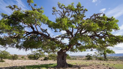 4k timelapse of a beautiful argan tree in the sous valley, morocco