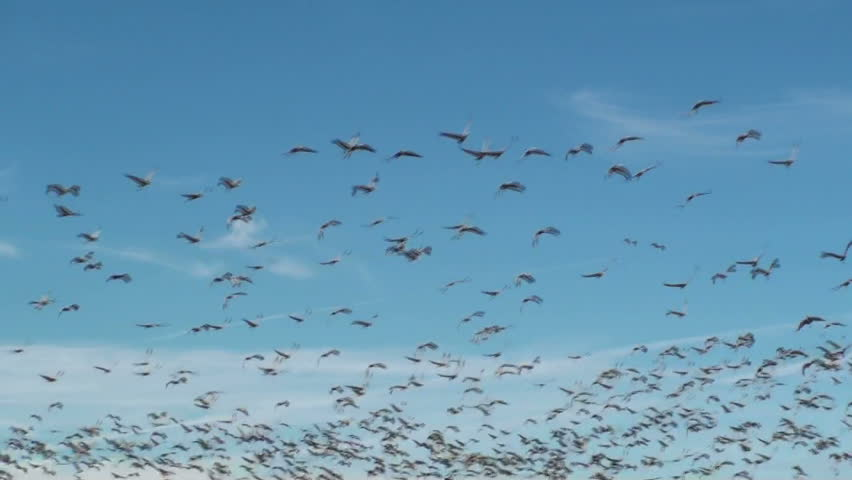 Thousands of Sandhill fly in patterns against blue sky. 1920x1080