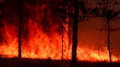 Fire forest. Storming and raging big fire in the forest. Wildfire in the forest is burning moss. Ecological disaster. Fire spreads and burns the ground. Wind strengthens fire. A fierce flame.