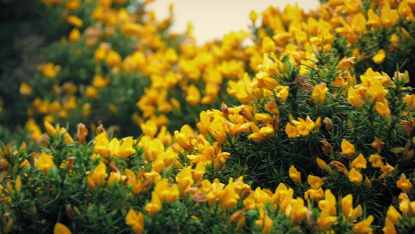 Gorse Bush Yellow Flowers In Stock Footage Video 100 Royalty Free