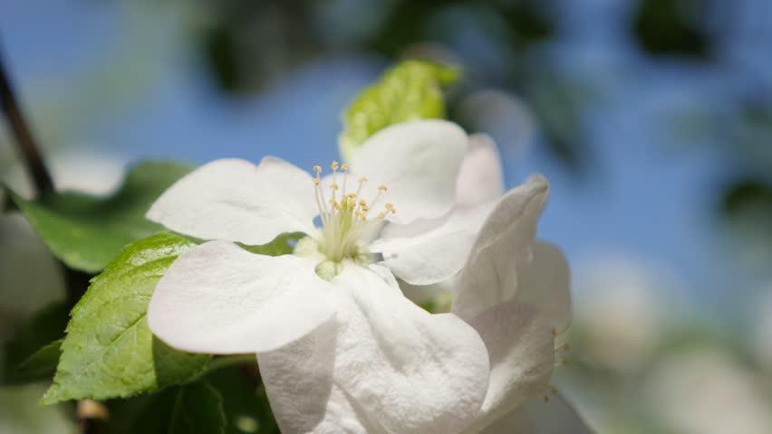 Jasmine is a white flower stock footage video 100 royalty free 4k0006tilting on apple tree spring flowers shallow dof 4k 3840x2160 ultrahd footage beautiful white apple tree flowers tilt on sunny day 4k 2160p uhd mightylinksfo