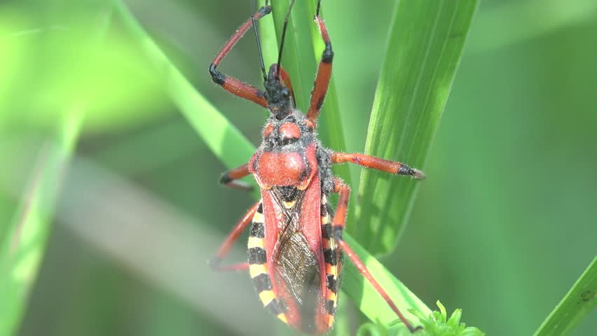 Red yellow Beetle Platymeris  sitting on green leaf, macro bug insect, United States
