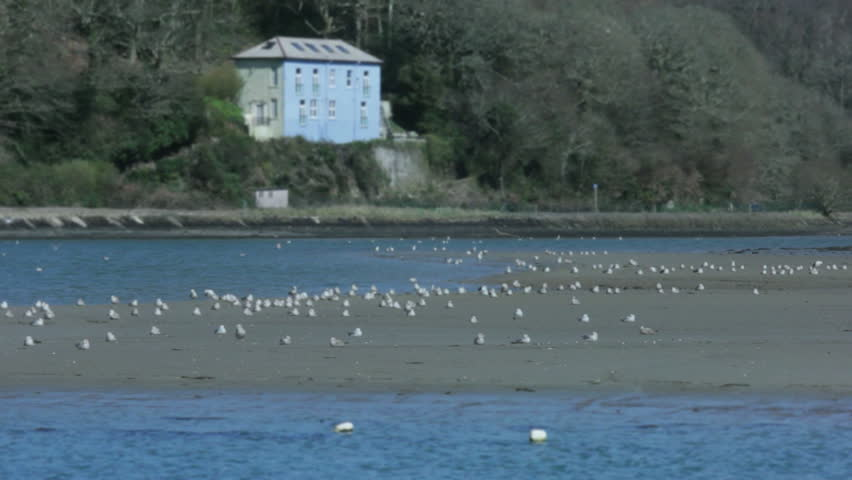 Static medium long shallow depth of field shot of a colony of seagulls sitting on a beach at low tide in a bay near a shore at sea in Looe Cornwall England during a sunny day in spring.