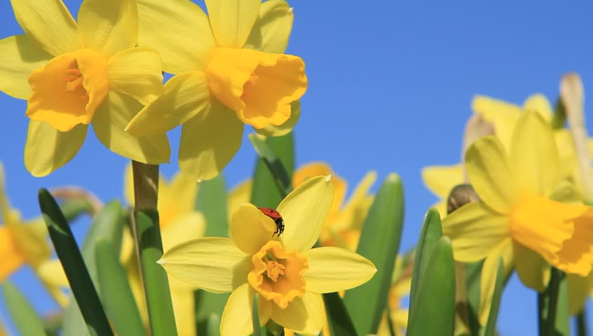 Image result for daffodil stock photo