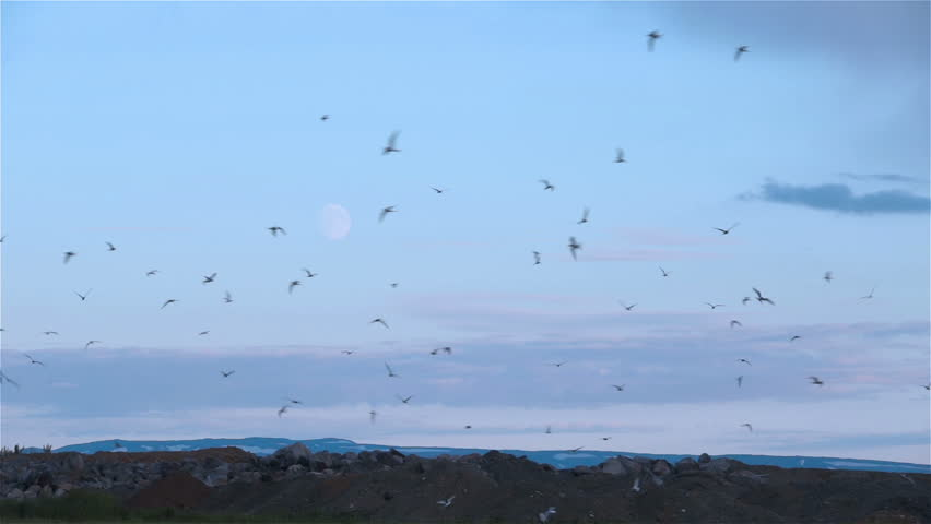 Arctic Tern kria flock birds swarming in front of rising moon rocks Iceland