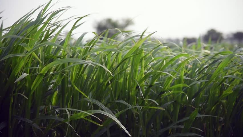 Long green grass moving in hard winds Salunkwadi, Ambajogai, Beed, Maharashtra India