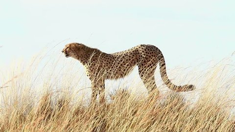 Male cheetah standing in the grass and looking around in Masai Mara, Kenya
