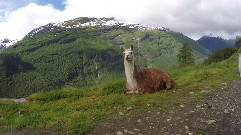 Llama with mountains, clouds, snow and waterfalls in background. The Llama is liked for its woolly fur, milk and strength. The llama are ruminants herbivorous animals that chew their cud.