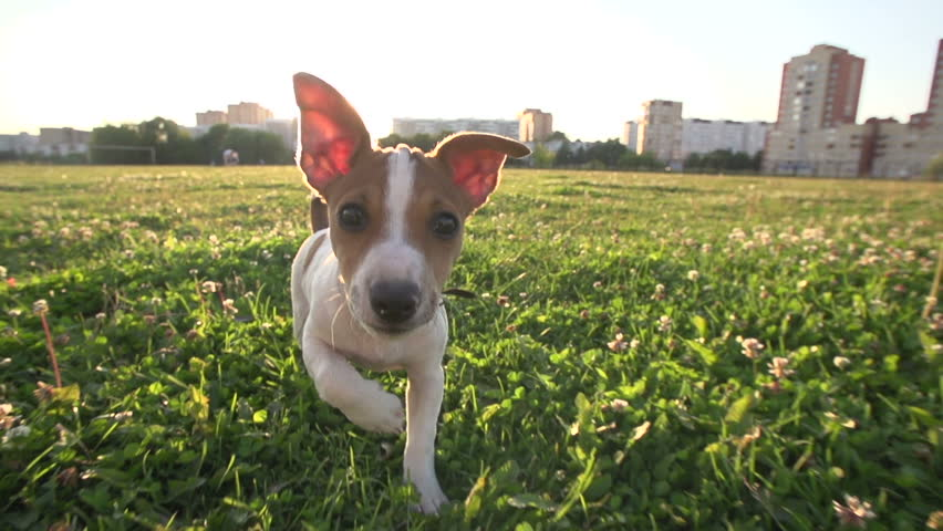 Cute puppy dog Jack Russell three months, slow motion 240 running across grass,sunset light.wide angle shot | Shutterstock HD Video #11073206