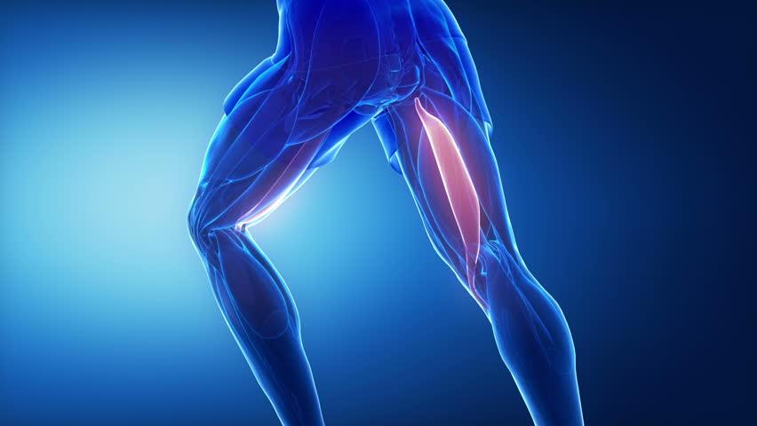 Stock Video Of Gracilis Tendon Leg Muscles Anatomy 10989071