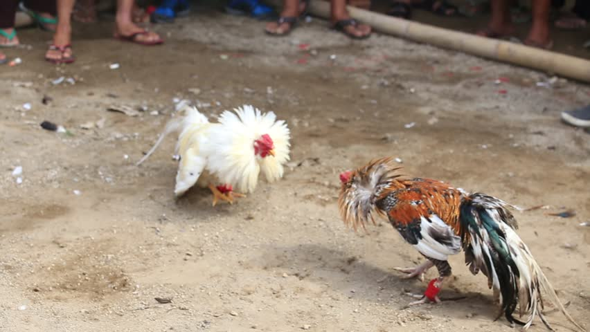 Roosters circling and attacking each other at cockfight in Ubud, Bali, Indonesia