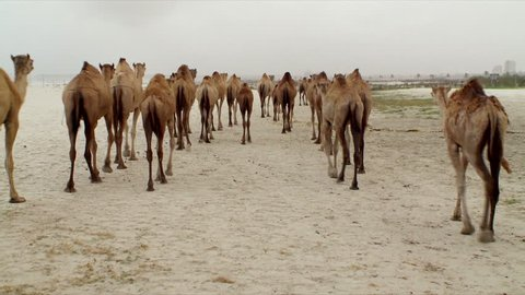 A large herd of camels walking on a public beach on a stormy day during the Monsoon in Salalah in Oman