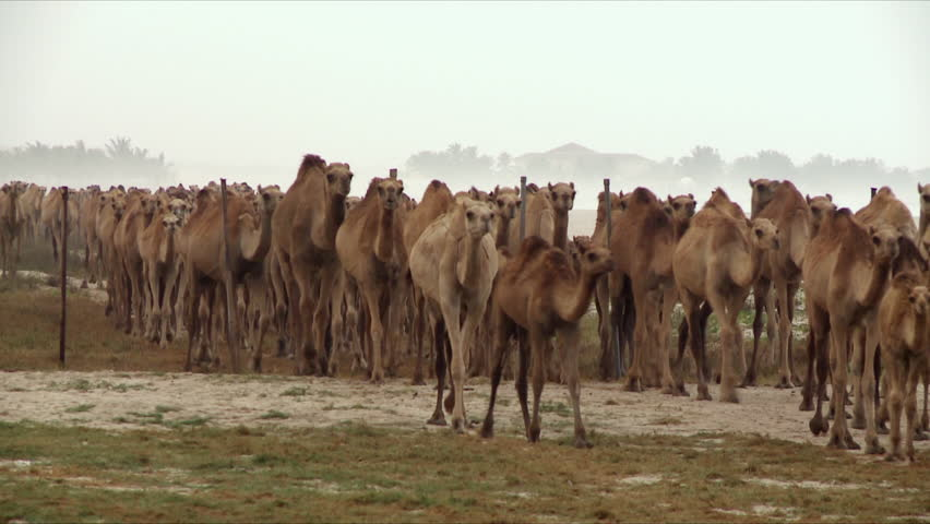 A very large herd of camels walking on a public beach on a stormy day during the Monsoon in Salalah in Oman