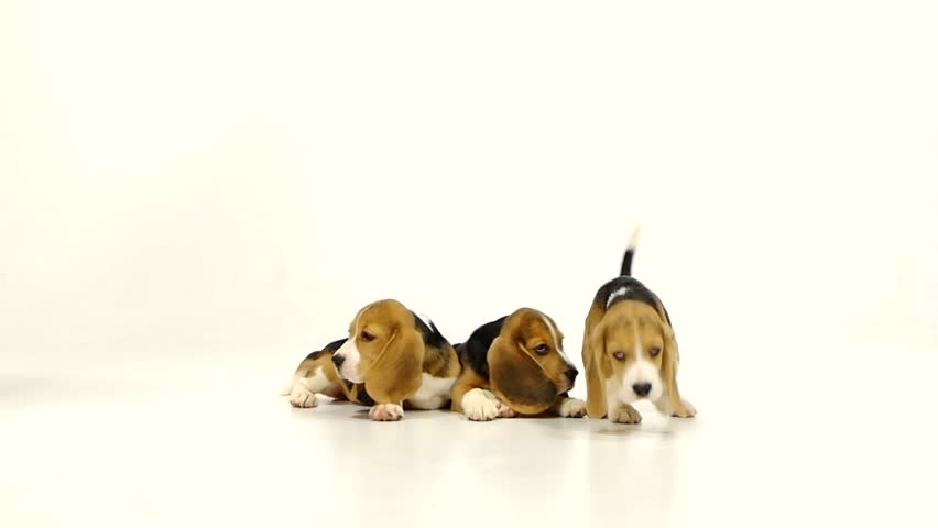 Must see Smart Beagle Adorable Dog - 1  Gallery_414598  .jpg