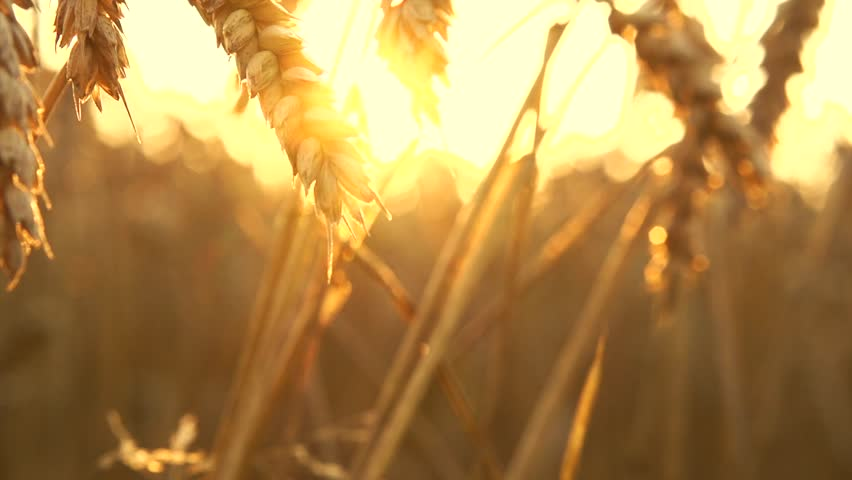 Wheat field in sunset. Ears of wheat close up. Harvest and harvesting concept. Field of golden wheat swaying. Nature landscape. Peaceful scene. Slow motion 240 fps, HD 1080p. High speed camera  | Shutterstock HD Video #11236622